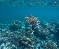 Sea turtle in blue water. Ocean ecosystem - coral reef, tropical fish, sea turtle. Royalty Free Stock Photography