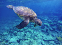 Sea turtle in blue water, sea turtle diving picture, summer holiday in tropical sea Stock Photography