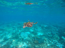 Sea turtle in blue water of tropical lagoon. Green turtle swimming underwater close photo. Stock Photo