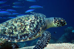 Sea turtle Bonaire Royalty Free Stock Photography