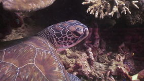 Sea turtle on bottom in corals underwater of nature Philippines. stock footage