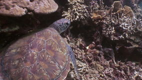 Sea turtle on bottom in reef underwater of nature Philippines. stock video footage
