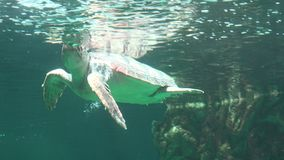 Sea Turtle Breathing Air At Water Surface stock footage