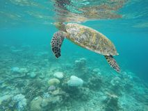 Sea turtle breathing. Maldivian sea turtle breathing out of the water in ari atoll Royalty Free Stock Image