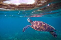 Sea turtle breaths air. Green sea turtle closeup. Wildlife of tropical coral reef. Stock Photography