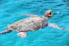 Sea turtle Caretta caretta. Big sea turtle float Royalty Free Stock Images
