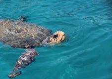Sea turtle  Caretta caretta surfacing. Big sea turtle surfaced to breathe Royalty Free Stock Images