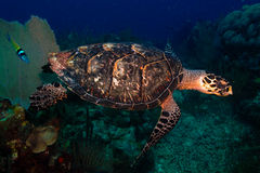 Sea turtle. Turtle from the caribbean reefs Stock Image