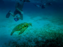 Sea turtle in caribbean sea - Caye Caulker, Belize. Sea turtle in caribbean sea near Caye Caulker, Belize Royalty Free Stock Images