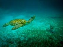 Sea turtle in caribbean sea - Caye Caulker, Belize. Sea turtle in caribbean sea near Caye Caulker, Belize Royalty Free Stock Photography