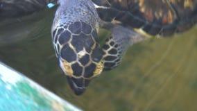 Sea Turtle Chelonia mydas Swimming in Reservouir at Turtle Farm stock video