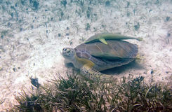 Sea Turtle with Cleaner Fish Stock Images