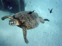 Sea Turtle Cleaning stock image