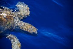Sea Turtle - Close Royalty Free Stock Photo