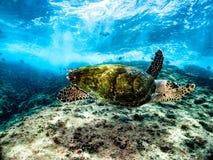 Sea turtle close to surface. Hawksbill sea turtle swimming close to surface underwater laje de Santos Marine state Park, coast of São Paulo, Brazil stock photos