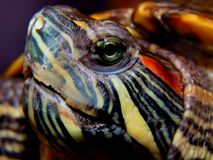 Sea turtle close-up Royalty Free Stock Image