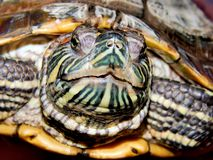 Sea turtle close-up Royalty Free Stock Images