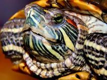 Sea turtle close-up Stock Photos