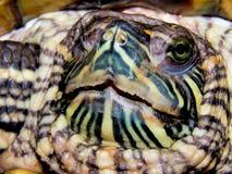 Sea turtle close-up Royalty Free Stock Photo