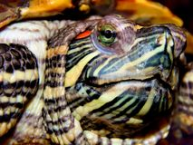 Sea turtle close-up Stock Photography