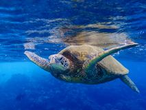 Sea Turtle Close Up Face First at Surface of Ocean Royalty Free Stock Photography