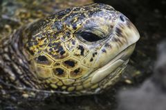 Sea turtle close up face while swimming stock photography