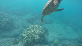 Sea turtle close up over coral reef stock video