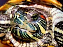 Sea turtle close-up Stock Image