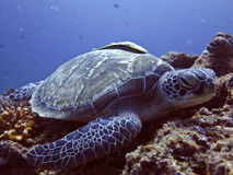 Sea Turtle. Close up shot of a gorgeous Green Sea Turtle and remora taken in Indonesia stock image