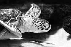 Sea turtle closeup black and white photo grain added. Royalty Free Stock Photography