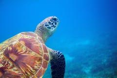 Sea turtle closeup in blue water. Coral reef animal underwater photo. Marine tortoise undersea. Green turtle in natural environment. Green turtle underwater stock image