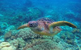 Sea turtle closeup in coral reef. Green turtle underwater photo. Oceanic animal in wild nature