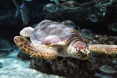 Sea turtle. Closeup photo of sea turtle under water Stock Photos