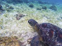 Sea turtle closeup portrait. Coral reef animal underwater photo. Marine tortoise undersea. Green turtle in natural environment. Green turtle underwater royalty free stock photo