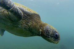 Sea Turtle Closeup Royalty Free Stock Photos