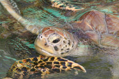 Sea turtle comes up for air Royalty Free Stock Photo