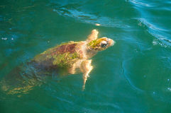 Sea Turtle, coming up to the top for food Stock Image