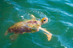 Sea Turtle, coming up to the top for food Royalty Free Stock Photo