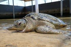 Big adult sea turtle. Sea turtle conservation area of Bali, Indonesia royalty free stock photos