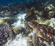 Sea turtle on coral sea bottom. Seaworld underwater photo. Green turtle undersea Stock Image
