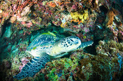 Sea turtle on coral bunaken sulawesi indonesia mydas chelonia underwater Stock Photo