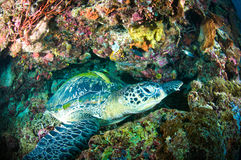 Sea turtle on coral bunaken sulawesi indonesia mydas chelonia underwater Stock Image