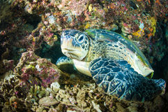 Sea turtle on coral bunaken sulawesi indonesia mydas chelonia underwater Royalty Free Stock Image