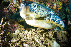 Sea turtle on coral bunaken sulawesi indonesia mydas chelonia underwater Stock Images