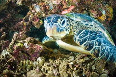 Sea turtle on coral bunaken sulawesi indonesia mydas chelonia underwater Royalty Free Stock Photos