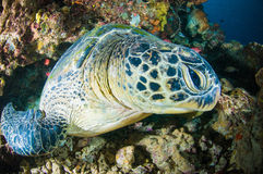 Sea turtle on coral bunaken sulawesi indonesia mydas chelonia underwater Royalty Free Stock Photo