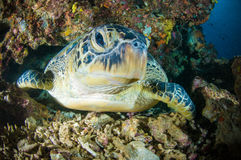 Sea turtle on coral bunaken sulawesi indonesia mydas chelonia underwater Stock Photos