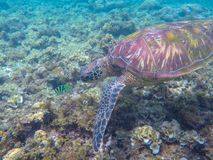 Sea turtle and coral fish. Exotic marine turtle underwater photo. Oceanic animal in wild nature. Summer vacation