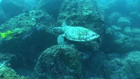 Sea turtle coral life underwater video. Underwater diving video Galapagos islands Pacific Ocean stock video footage