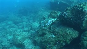 Sea turtle coral life underwater video. Underwater diving video Galapagos islands Pacific Ocean stock footage